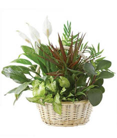 Classic Dish Garden Same Day Plant Delivery